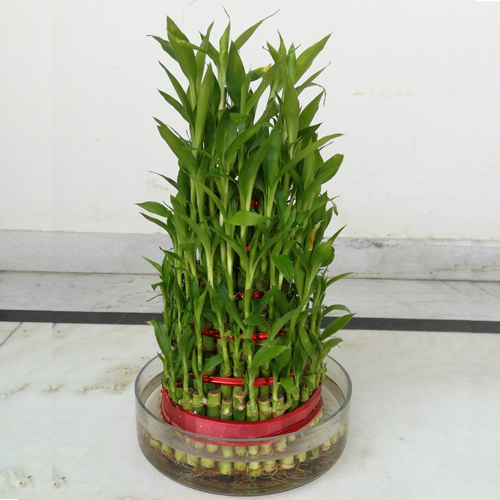 4589_6-layer-bamboo-plant.png